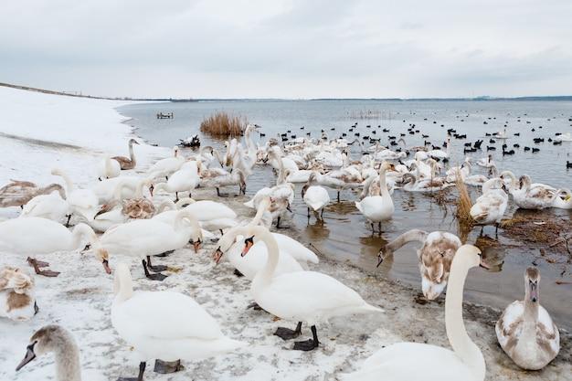 Cygnes Chanteurs Nageant Dans Le Lac Photo Premium