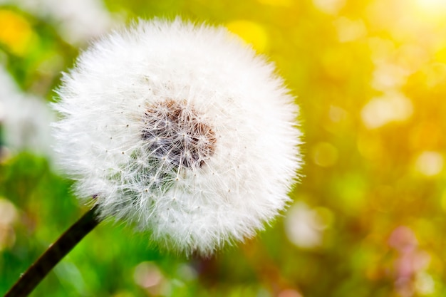 Dandelion Close Photo gratuit