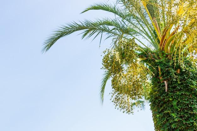 Dates jeunes vertes sur un palmier contre le ciel bleu. fermer Photo Premium