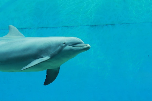 Dauphins dans l'aquarium Photo Premium