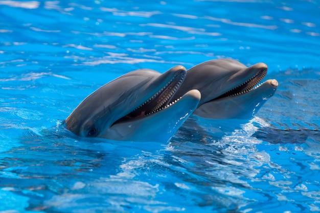 Dauphins drôles dans la piscine pendant un spectacle dans un zoo Photo Premium