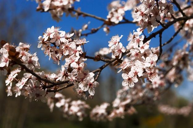 Début du printemps et fleurs de pêcher sur fond bleu flou. Photo Premium