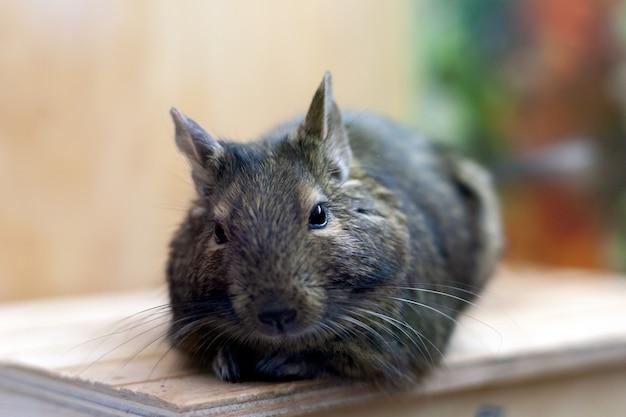 Degu animal se détendre après avoir mangé. animal exotique pour la vie domestique. Photo Premium