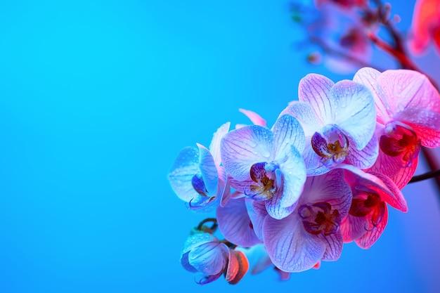 Délicate orchidée rose avec des gouttes de rosée gros plan sur fond bleu clair Photo Premium