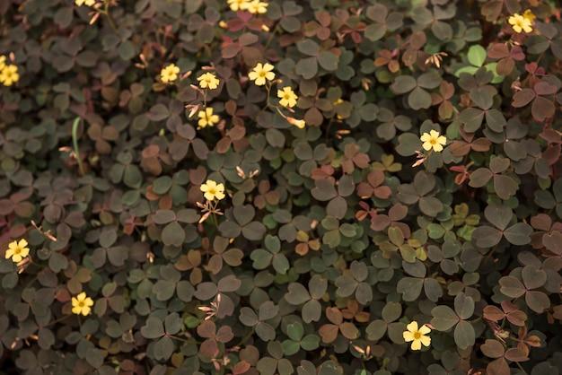 Délicates fleurs d'oseille volcaniques jaunes Photo gratuit