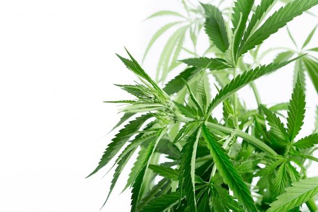 Détail de la plante de cannabis Photo Premium