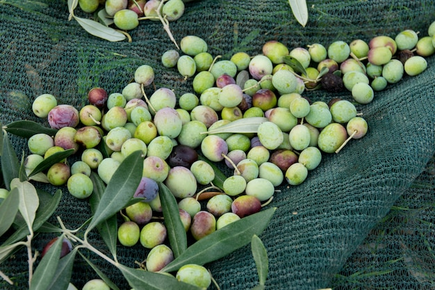 Détail De La Récolte Des Olives Photo Premium