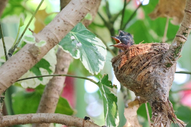 Deux bébés magpie-robin orientaux dans le nid et attendant la nourriture de leurs parents. Photo Premium