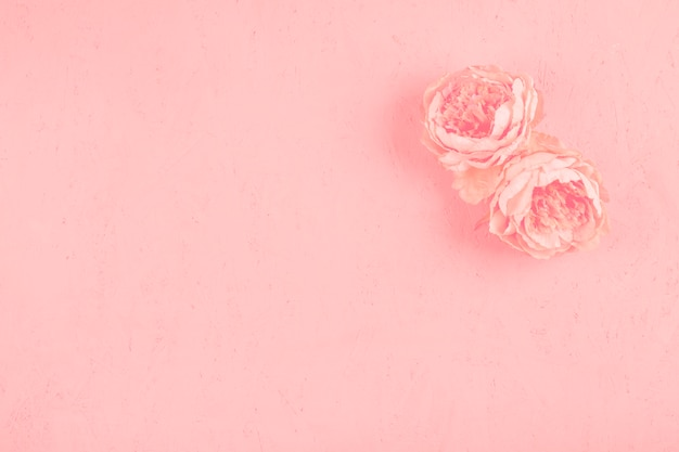 Deux belles pivoines fleurissent sur un fond texturé rose Photo gratuit