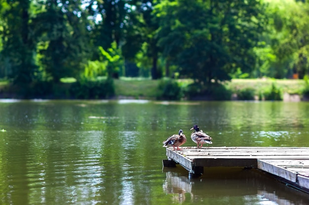 Deux Canards Reposant Sur Un Quai En Bois Sur Une Journée Ensoleillée Photo Premium