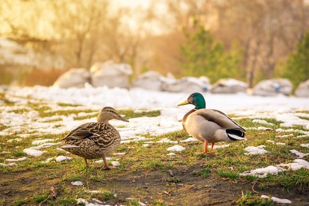 Deux Canards Sauvages Au Printemps Sur La Neige Fondante Photo Premium