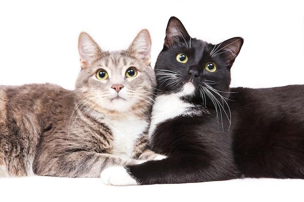 Deux chats se trouvant sur fond blanc. animaux et animaux Photo Premium