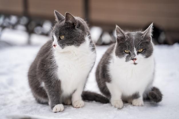 Deux Chats Tigrés Bleus Dans La Neige Par Une Froide Journée D'hiver Photo Premium