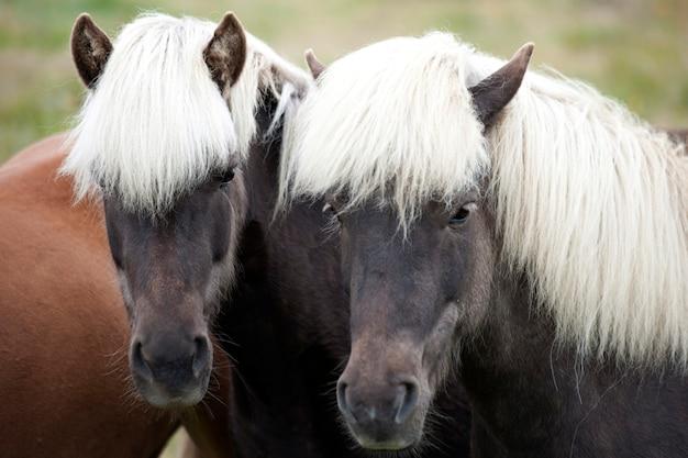 Deux chevaux islandais bruns à la crinière blanche Photo Premium