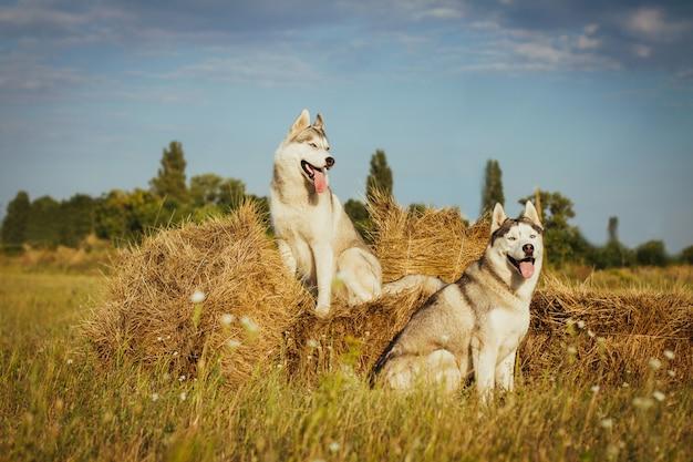 Deux Chiens Assis Près De Meules De Foin Attendant Son Maître. Husky Sibérien Sur Fond De Campagne. Photo Premium