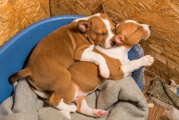 Deux Chiens De Chiots Basenji Petits Bébés Drôles Dorment Doucement Blottis Ensemble Dans La Volière Du Canapé. Photo Premium