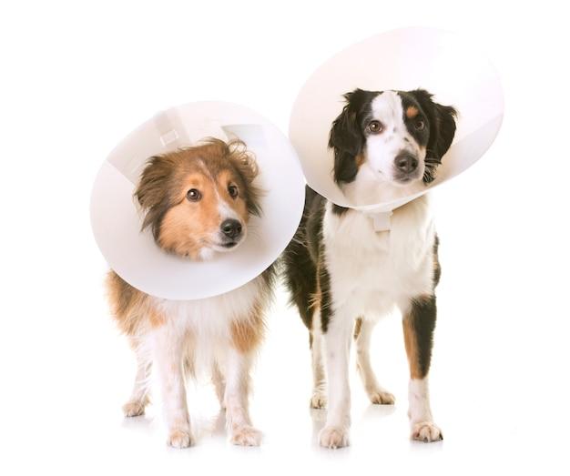 Deux chiens et collier de protection Photo Premium