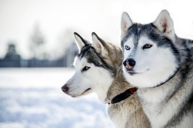 Deux chiens husky de sibérie regarde autour de lui. les chiens husky ont une robe noire et blanche. Photo Premium
