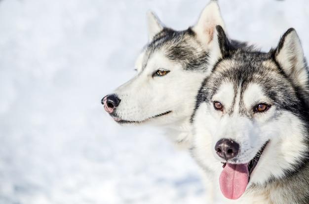 Deux chiens husky sibériens regardent autour d'eux Photo Premium