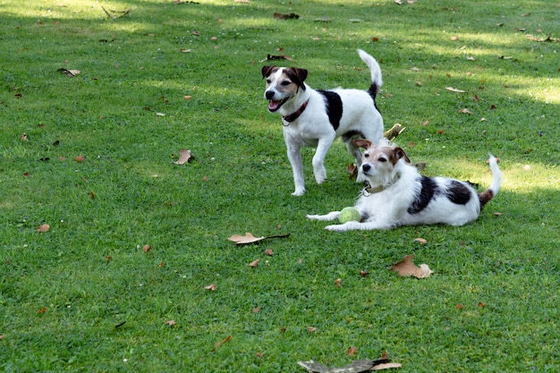 Deux chiens de la race jack russell terrier sont sur la pelouse et gardent la balle Photo Premium