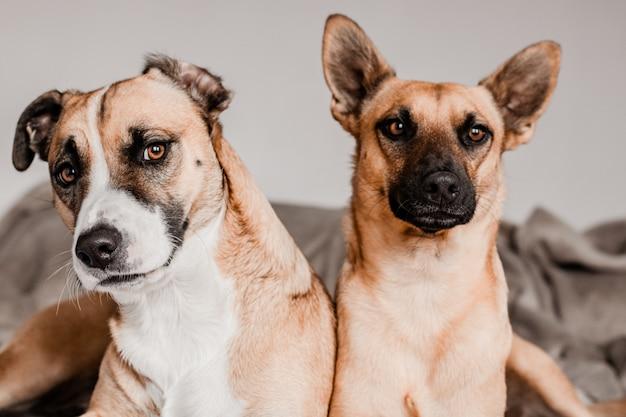 Deux chiens regardant la caméra allongée sur un lit Photo Premium