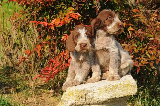 Deux chiots de chien spinone italiano Photo Premium