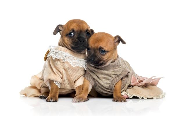 Deux Chiots Chihuahuas Habillés Photo Premium