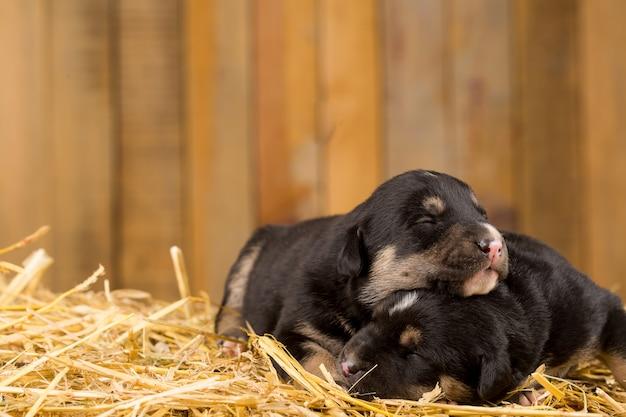 Deux chiots nouveau-nés dans une grange Photo Premium