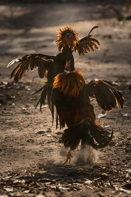 Deux coq de combat dans la nature en train de se battre. Photo Premium