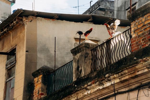 Deux coqs chantent fort sur le toit Photo gratuit