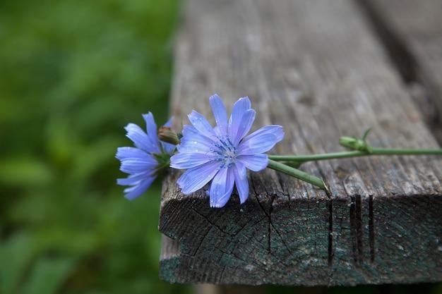 Deux Fleurs De Chicorée Sur Un Vieux Banc En Bois Photo Premium