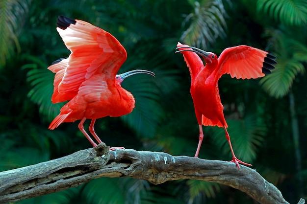 Deux ibis écarlates en quête d'espace sur un tronc d'arbre Photo Premium
