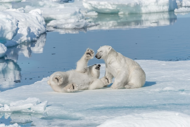 Deux Jeunes Oursons Polaires Sauvages Jouant Sur La Banquise Dans La Mer Arctique, Au Nord De Svalbard Photo Premium