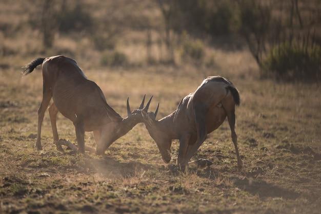 Deux Kudus Combattant Tête à Tête Avec Arrière-plan Flou Photo gratuit