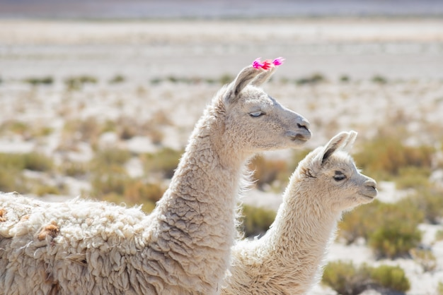 Deux Lamas Sur Les Hauts Plateaux Andins En Bolivie Photo Premium