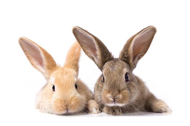 Deux lapins moelleux regardent l'enseigne Photo Premium