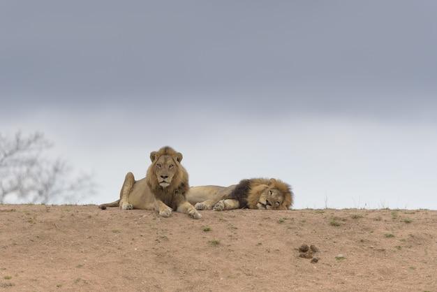 Deux Lions Allongés Au Sommet De La Colline Photo gratuit