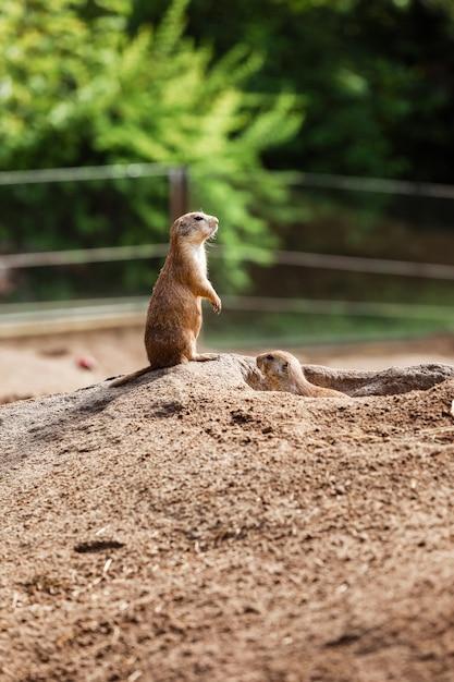 Deux Marmottes Naturelles Assises Regardant Dans Des Directions Opposées. Petits Sousliks Observant Photo Premium