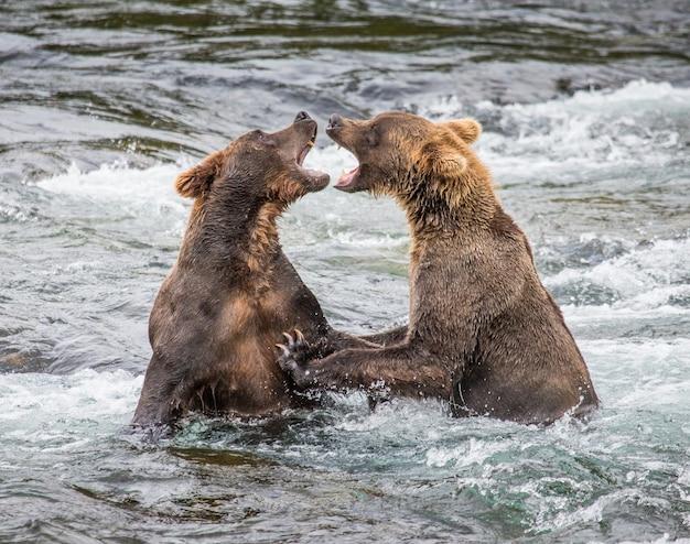 Deux Ours Bruns Jouent L'un Avec L'autre Dans L'eau Photo Premium