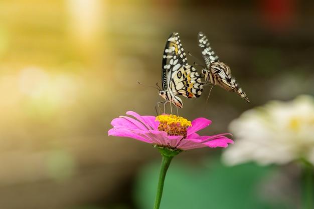 05da60aa2f92d Deux papillons volent pour trouver le nectar des fleurs roses de zinnia,  lime butterfly,