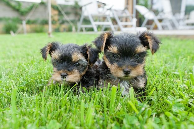 Deux petit chiot yorkshire terrier Photo Premium