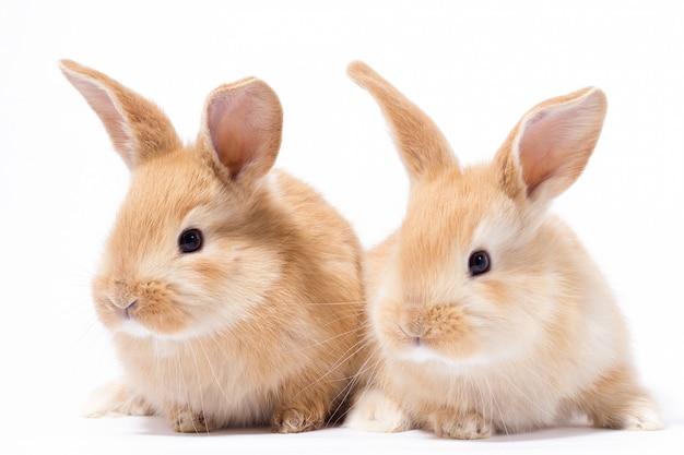 Deux petits lapin rouge moelleux, isoler, lapin de pâques Photo Premium