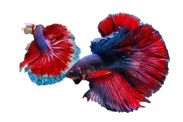 Deux poissons betta colorés se poursuivant sur un fond blanc Photo Premium