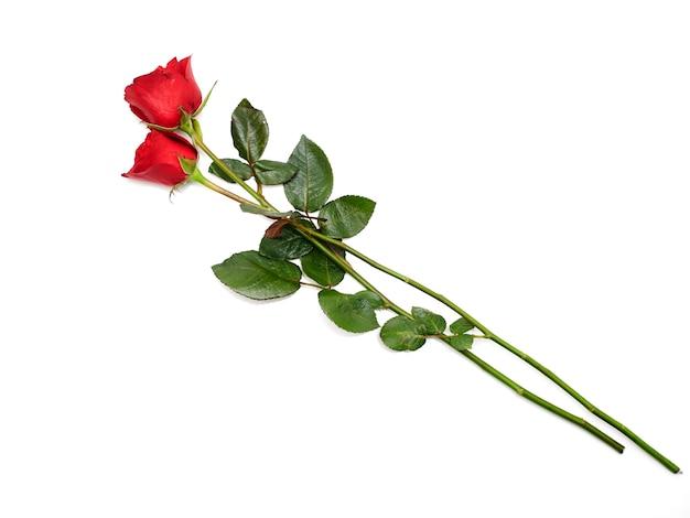 Deux rose rouge sur fond blanc Photo Premium