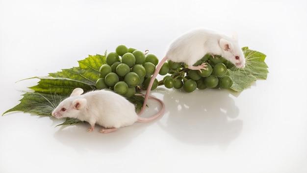 Deux souris blanches avec des grappes de raisins verts sur fond blanc Photo Premium