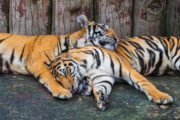 Deux tigres du bengale endormis Photo Premium