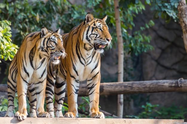 Deux tigres royaux de bengale debout et regardent vers Photo Premium