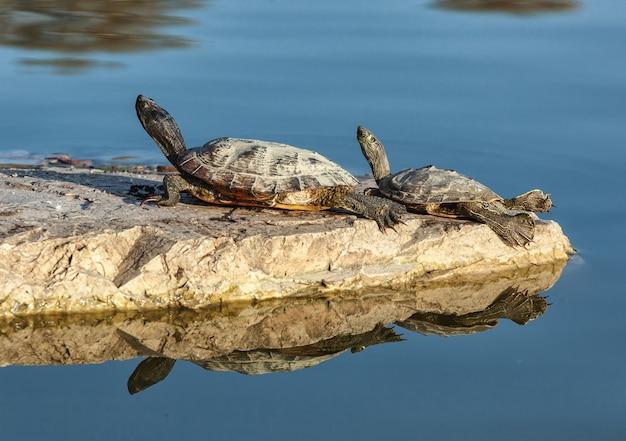 Deux tortues d'eau Photo Premium