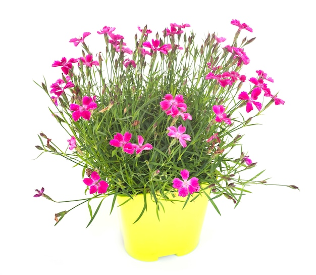 Dianthus en studio Photo Premium