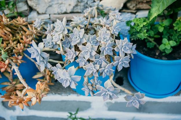 Différents types de plantes succulentes, dans de grands pots en céramique bleus au sommet du réservoir, groupe vue succulente de dessus, gros plan flou feuilles sèches sur fond de rue Photo Premium